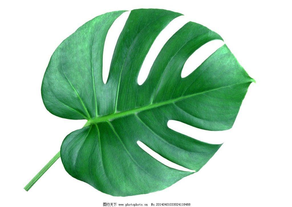 龟背竹叶片素材图片