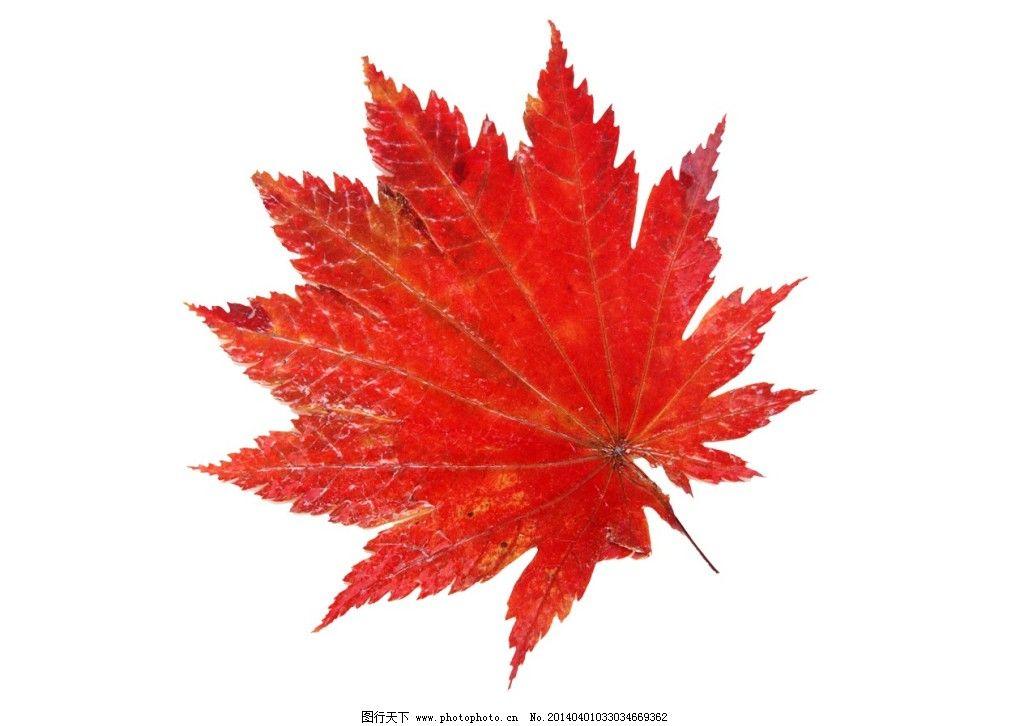 枫叶素材免费下载 红叶 落叶 叶子 植物 植物 叶子 红叶 落叶 psd源文