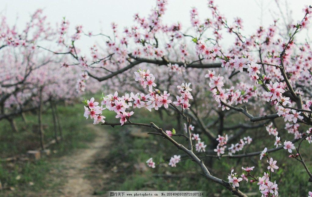 桃花园 桃花图片素材下载 红桃花 桃树 桃花树枝 摄影