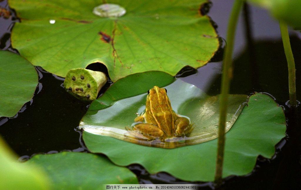 青蛙荷叶图片