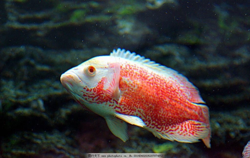 猪仔鱼 红猪 淡水鱼 海水鱼 鲳鱼 水生动物 美丽鱼儿 摄影