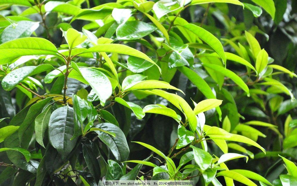 桂花树叶图片