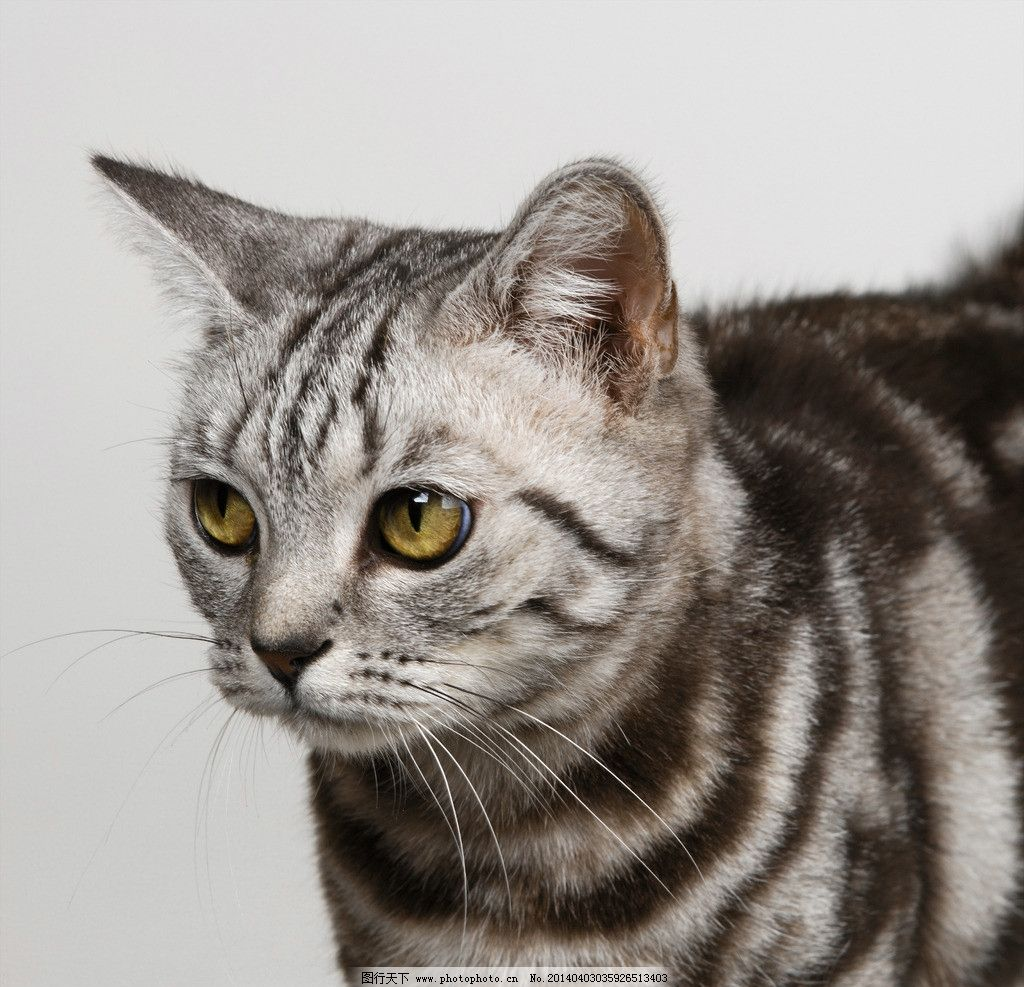 小花猫 猫咪 猫子 狸猫 野猫 家禽家畜 生物世界 摄影 300dpi jpg