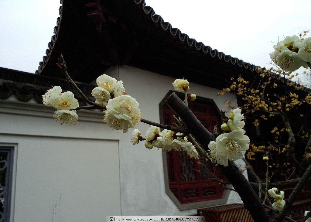古代庭院 白色梅花 梅花树枝 古代风景 摄影
