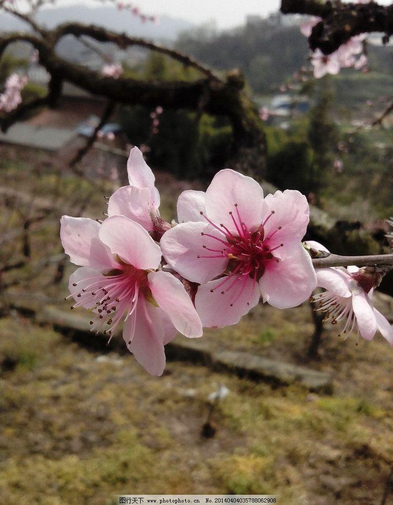 桃花 树木 园林 园艺 红色 花卉 花草 生物世界 摄影 72dpi jpg