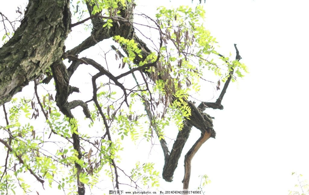 槐树叶子手绘黑白