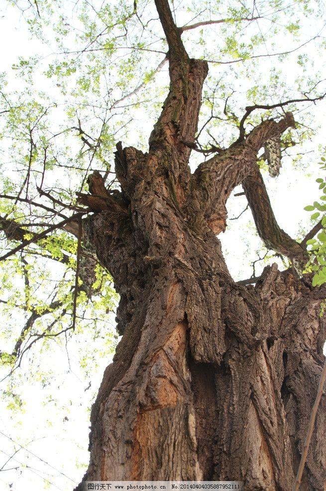 老槐树 树上的嫩叶 春天 槐树 树叶 树木树叶 生物世界 摄影 72dpi