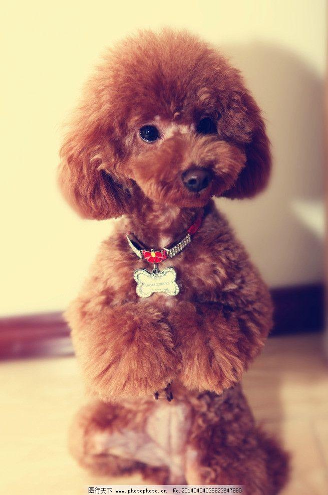 可爱的泰迪狗狗图片