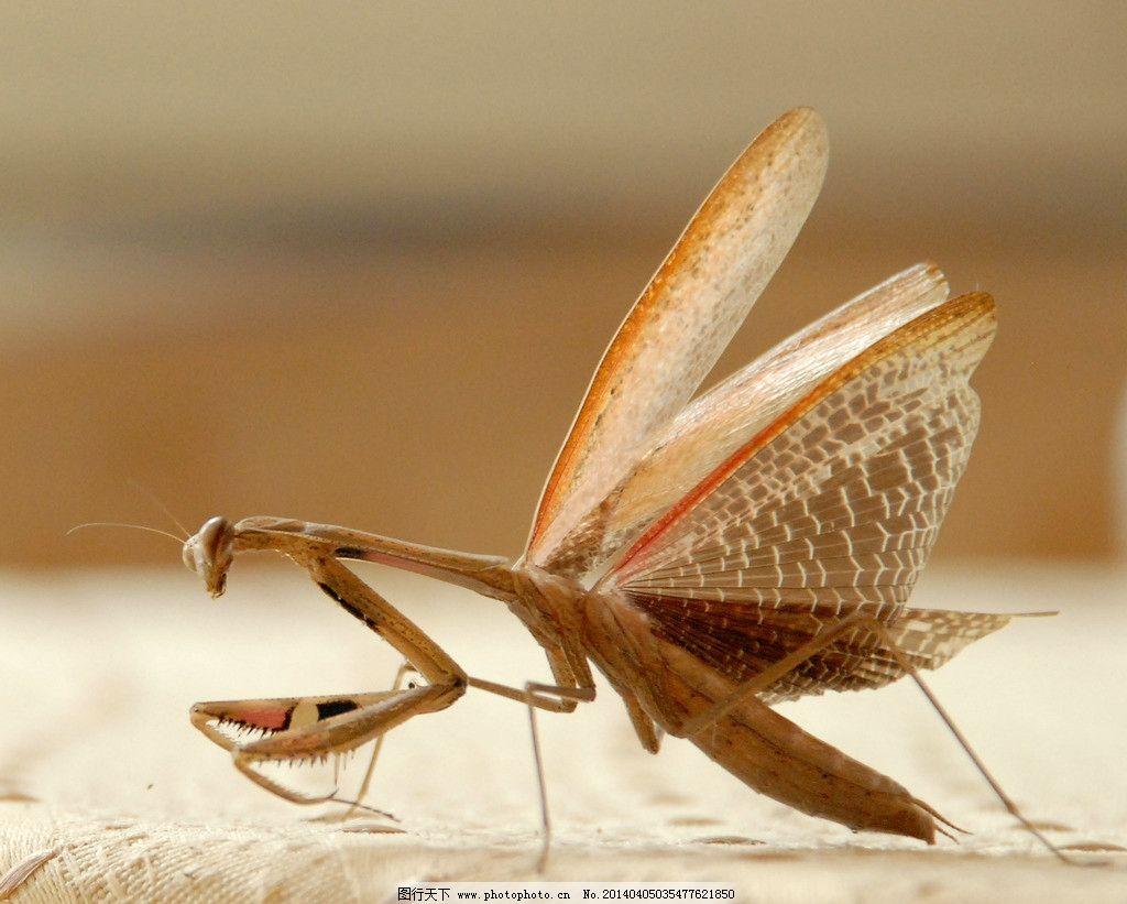 螳螂展翅 摄影图片 生物世界 昆虫 节肢动物