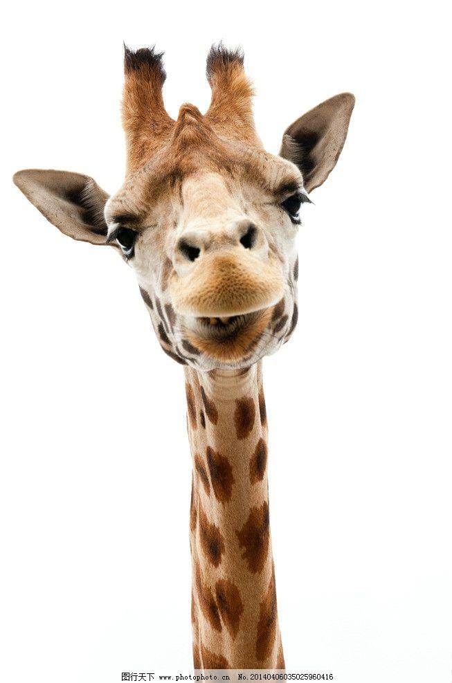 长颈鹿 长颈鹿图片素材下载 野生长颈鹿 鹿 动物世界 野生动物 食草