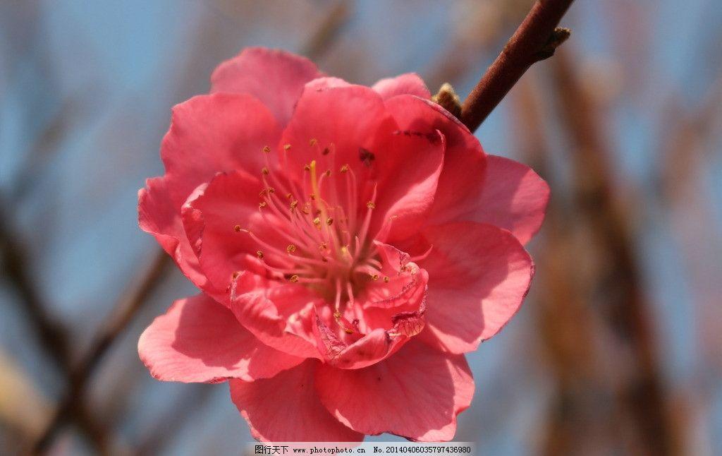 一朵桃花图片