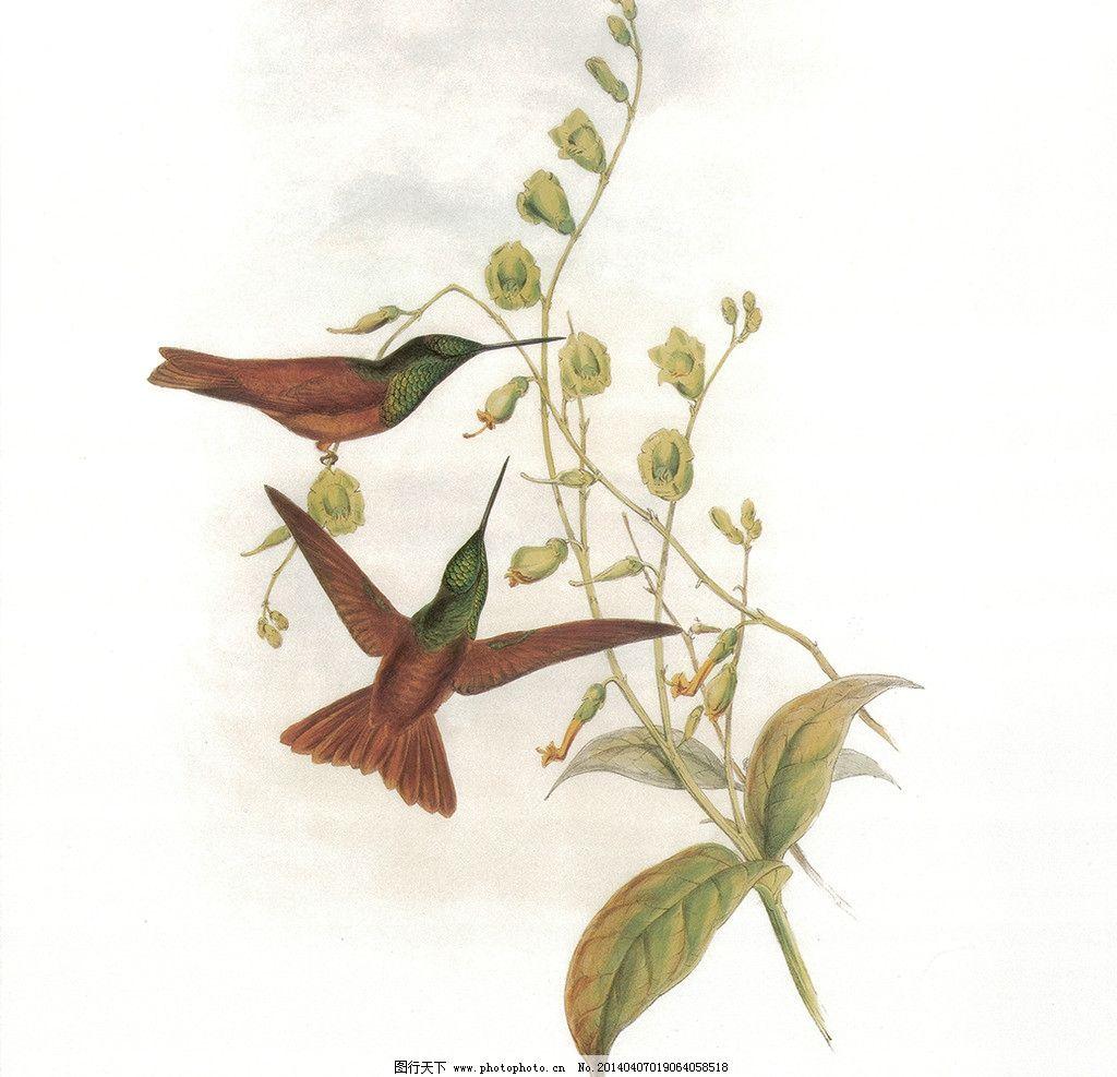 蜂鸟 手绘图片