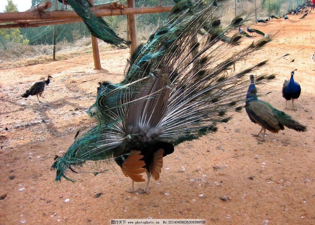 孔雀 动物园 野生动物 鸟类 羽毛 翅膀 树木 花草 生物世界 摄影 180