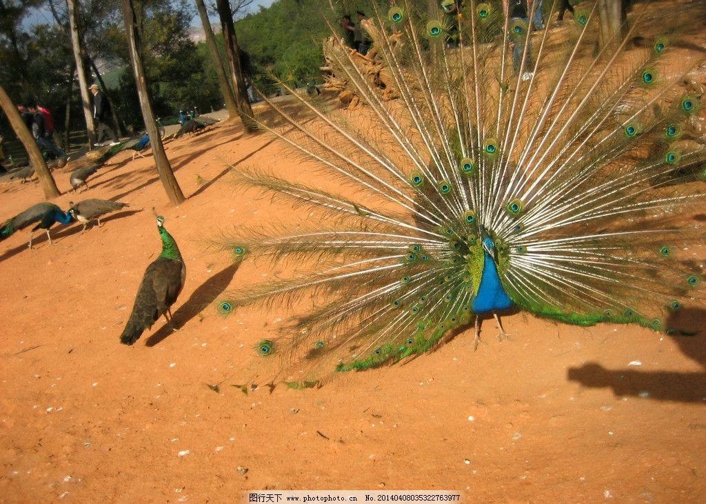 孔雀 动物园 野生动物