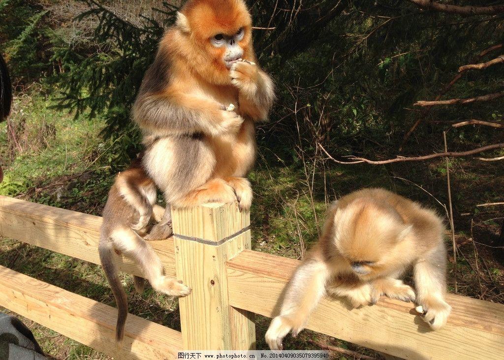 金丝猴 神农架 国家保护动物 猴子 猴群 野生动物 生物世界 摄影 72