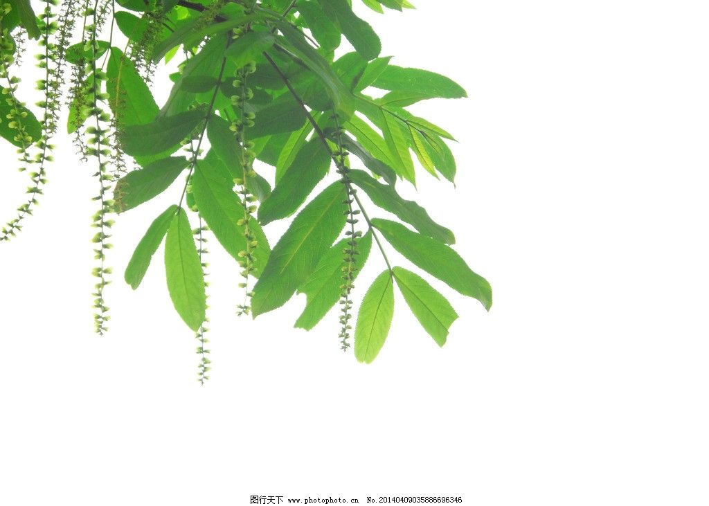 叶子 唯美图片 叶子剪影 时光倒影 叶子倒垂 倒垂叶子 树剪影 绿色 绿