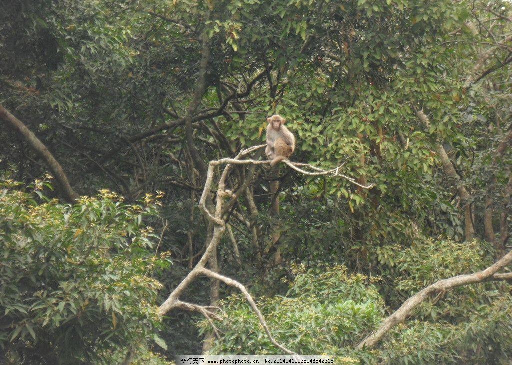 猴子眺望 大猴 哨兵 树顶 眺望 放哨 自然 风景 野生动物 生物世界