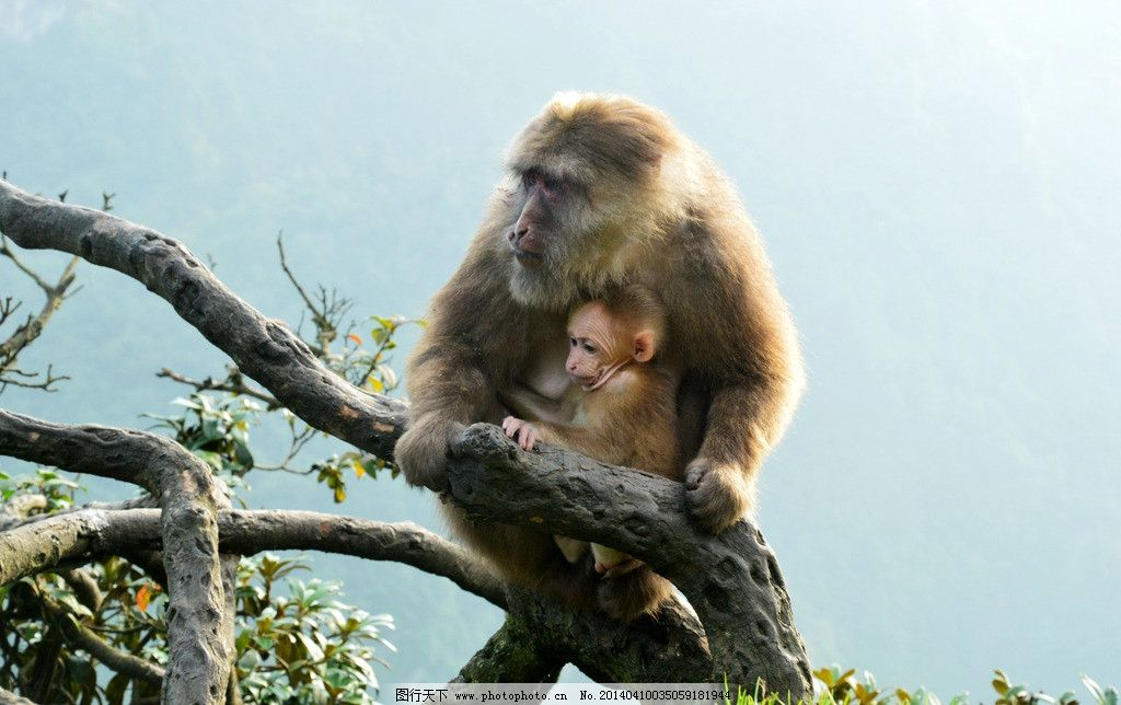 峨眉山猴子 四川 峨眉山 猴子 母子 小猴 猴山 动物 猿猴 野生动物 生