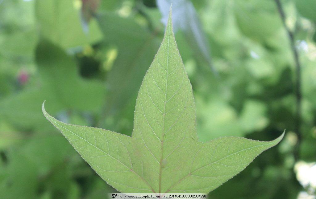 绿色枫叶 绿色叶子 植物树叶
