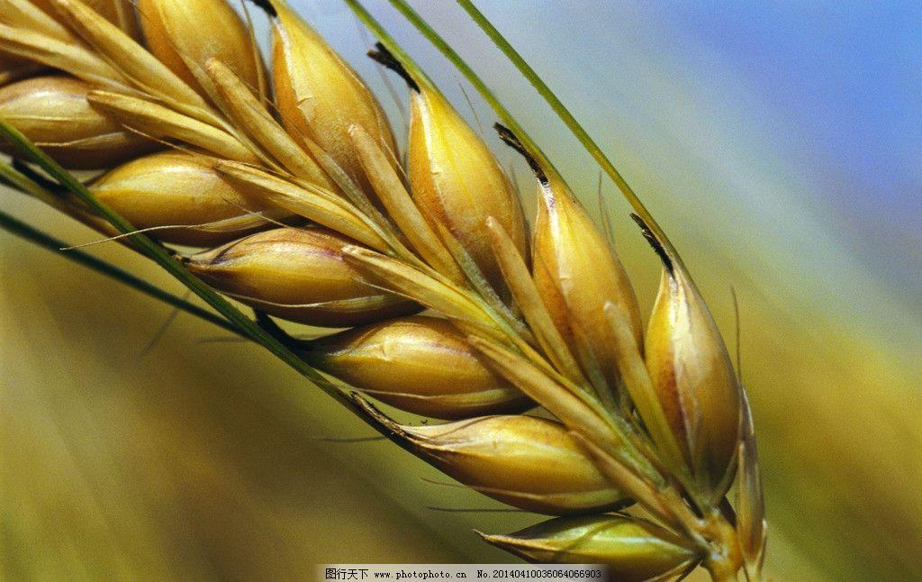 麦穗 小麦 金色小麦 成熟麦穗 秋天的小麦 秋天的麦穗 其他生物 生物
