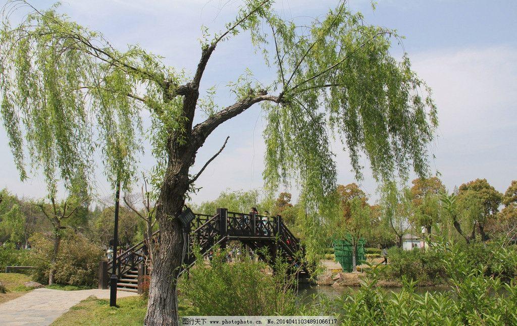 柳树 树形 奇特 孤植树种 城市公园 植物 自然风景 自然景观 摄影 72