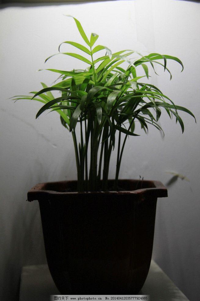 花草  水培袖珍椰子 文竹图片素材下载 文竹 云片竹 藤本植物 常绿