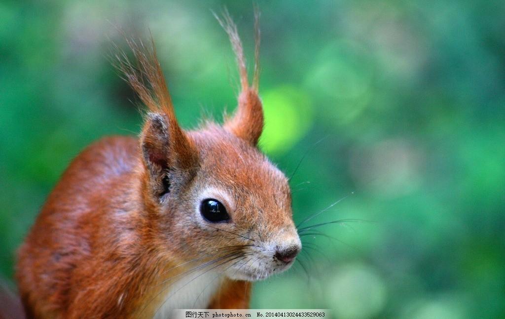 老鼠 松鼠 鼠 田鼠 袋鼠 鼠类 野生动物 生物世界 摄影 72dpi jpg