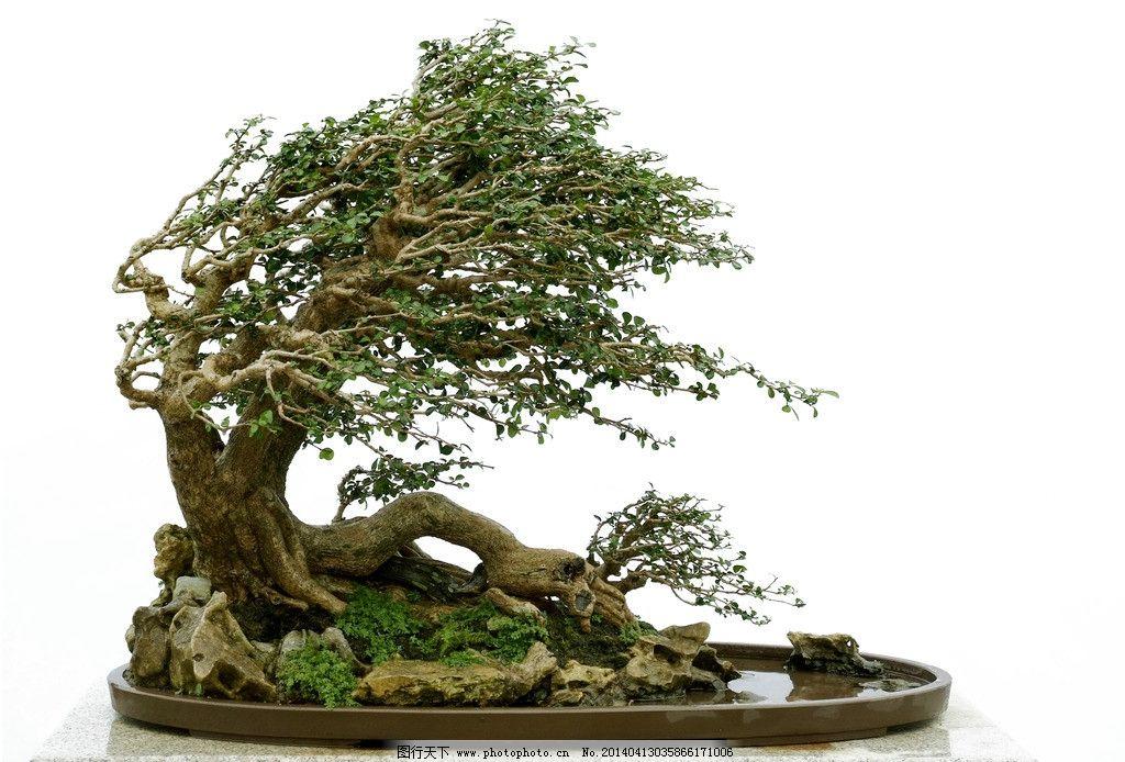 野生杂木树根桩盆景