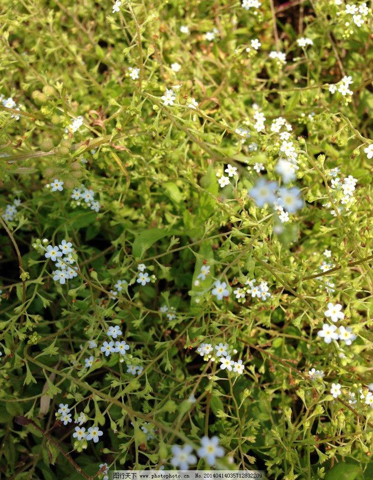 附地草 附地菜 野菜 小白花 花朵 春花 白色 花草 生物世界 摄影 72