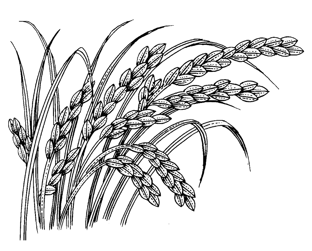水稻手绘图片大全