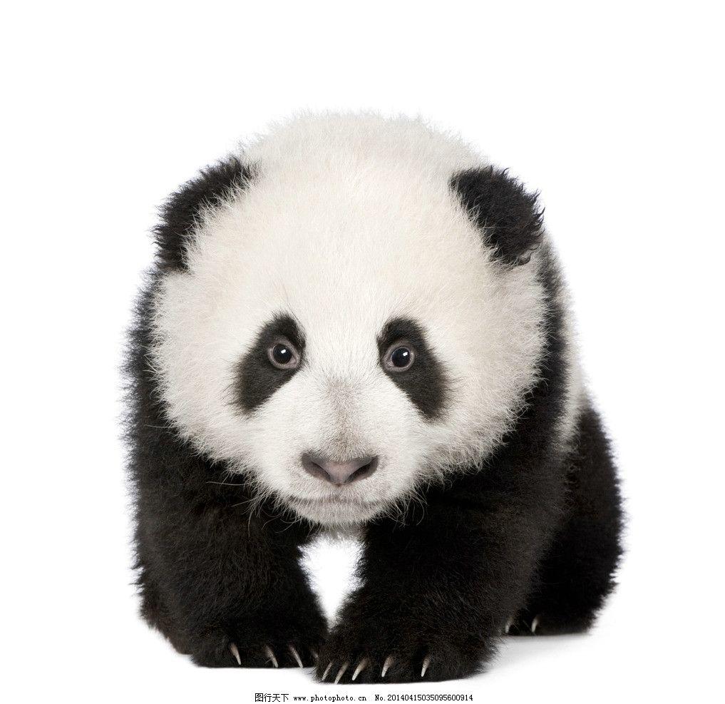 大熊猫 大熊猫图片素材下载 国宝 野生动物 黑白 熊猫 生物世界 摄影