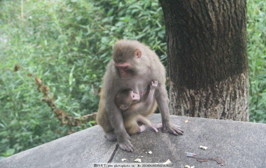 猴子 母猴 小猴 母子 猴 野生动物 生物世界 摄影 72dpi jpg