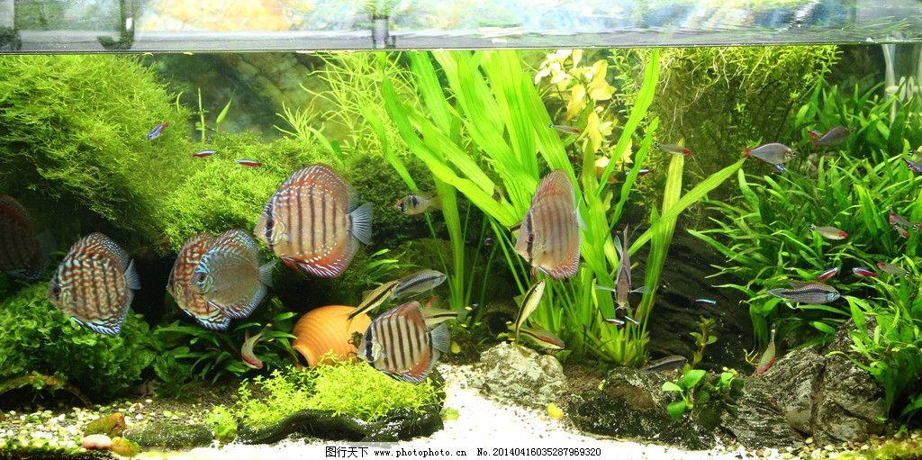 草缸七彩神仙鱼图片