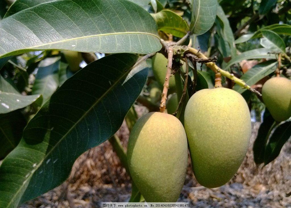 青芒果 树上青芒果 大小台 新鲜芒果 树上水果 水果 生物世界 摄影 72