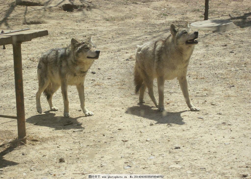 森林狼 大连 森林 动物园 狼群 家禽家畜 生物世界 摄影 180dpi jpg
