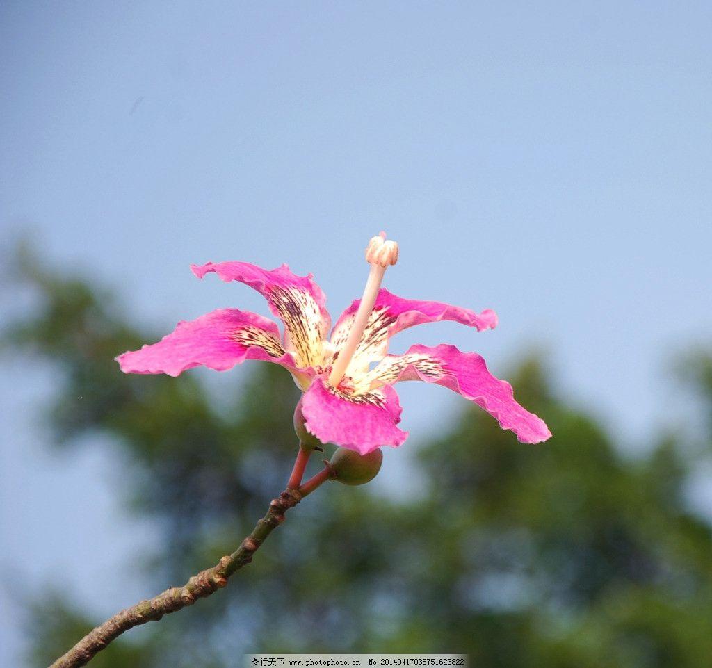 紫荆花 秋花 丝木棉花 一朵红花 粉红色 一支独秀 英雄花 花草 生物