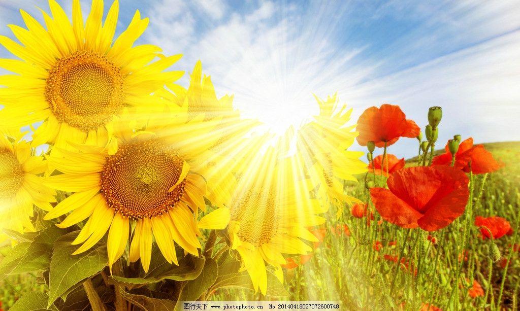 向日葵 鲜花 葵花 花朵 红花 阳光 光线 花 花草 花卉 生物世界 自然