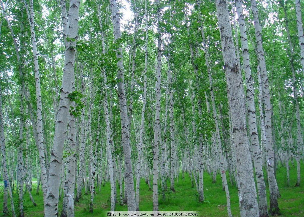 白桦林 树林 绿色 树木 森林 绿叶 美景 风景 自然风景 旅游摄影 摄影