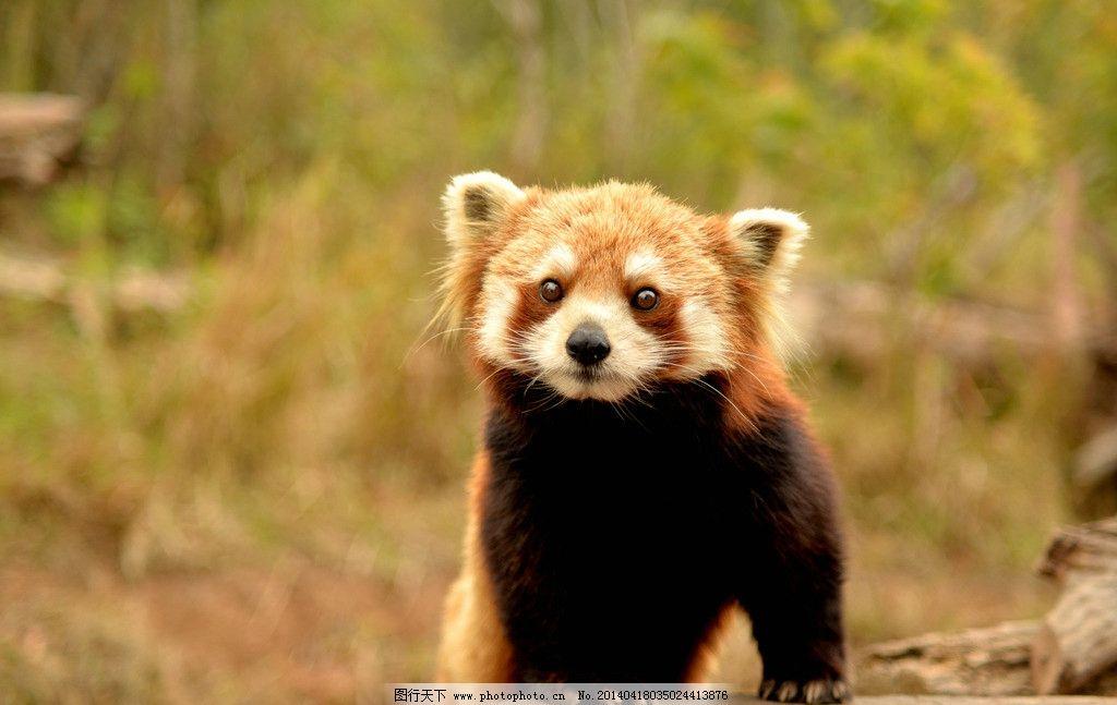 小熊猫 云南 普洱 犀牛坪 国家森林公园 野生小熊猫 动物 萌 可爱