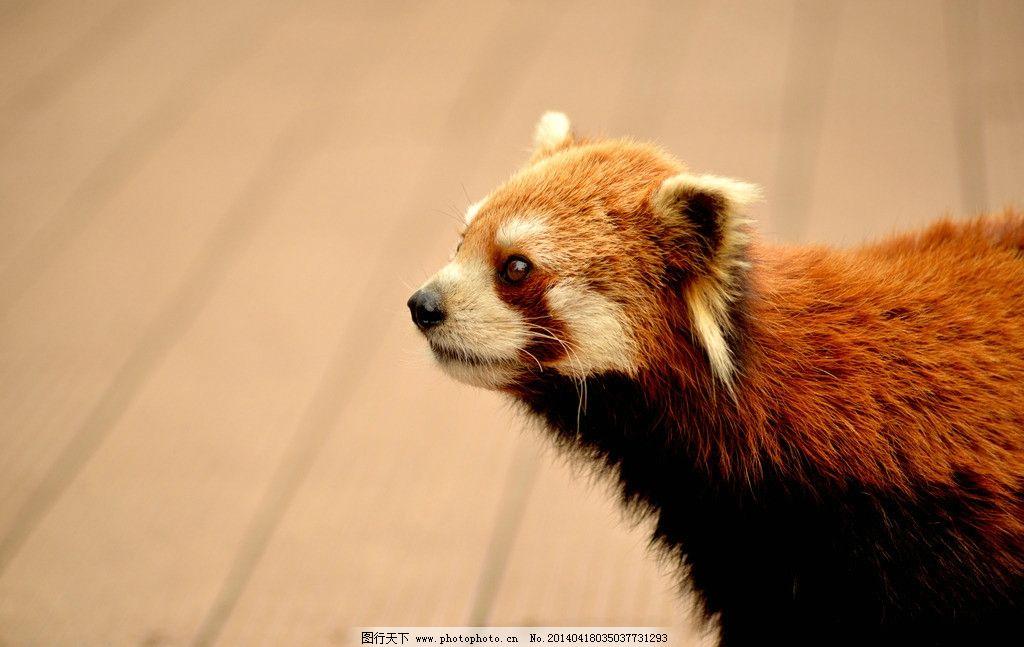 小熊猫 云南 普洱 犀牛坪 国家森林公园 野生 动物 萌 可爱 野生动物