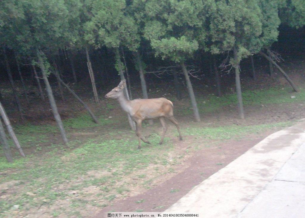 野生动物园鹿图片
