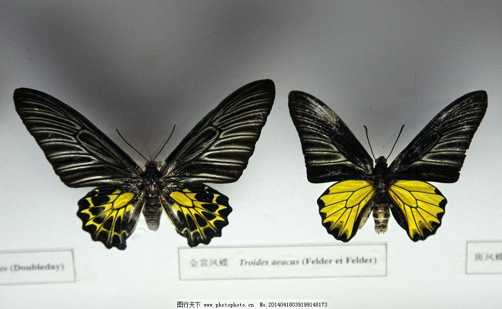 艺术图案 美术 文化艺术 工艺品 绘画 手工制作 蝴蝶 标本 动物标本