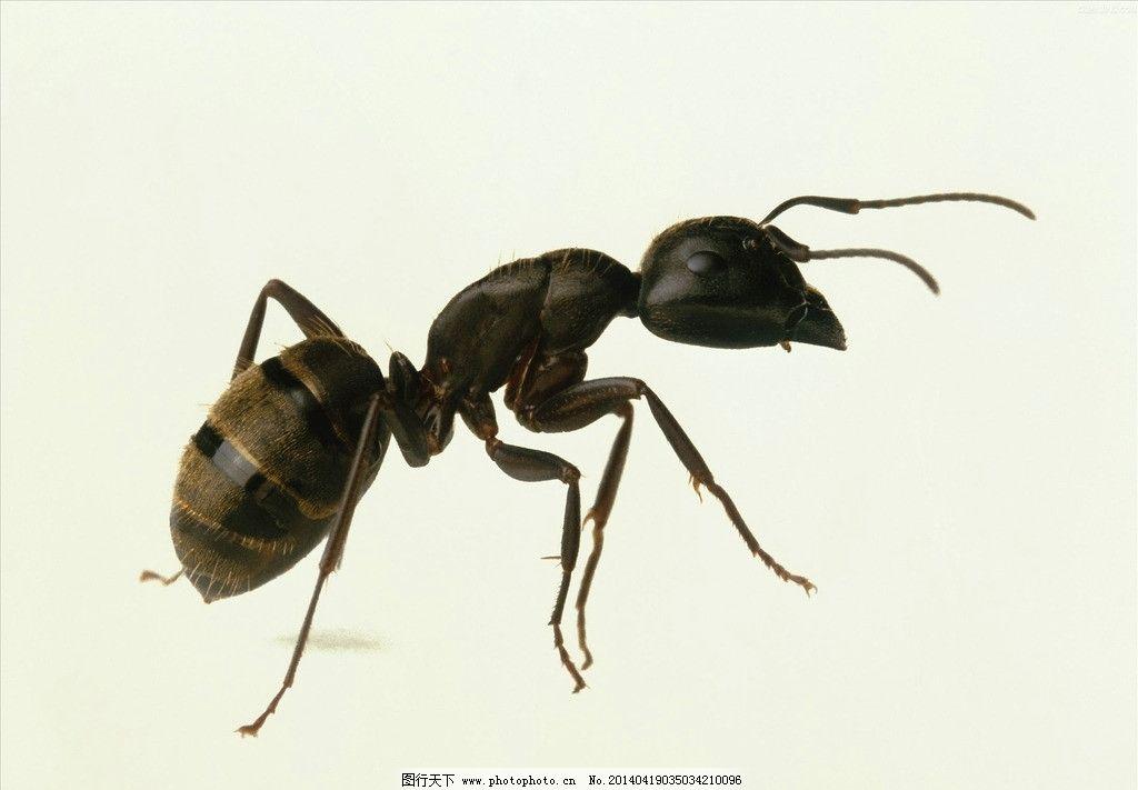 蚂蚁 动物 昆虫 爬行动物 一只小蚂蚁 生物 野生动物 生物世界 摄影