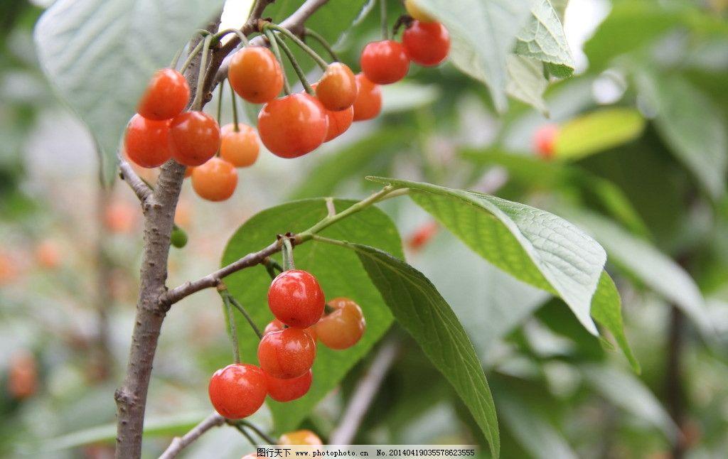 樱桃 摄影图 成熟 竖着的树枝 可爱 水果 生物世界 摄影 72dpi jpg