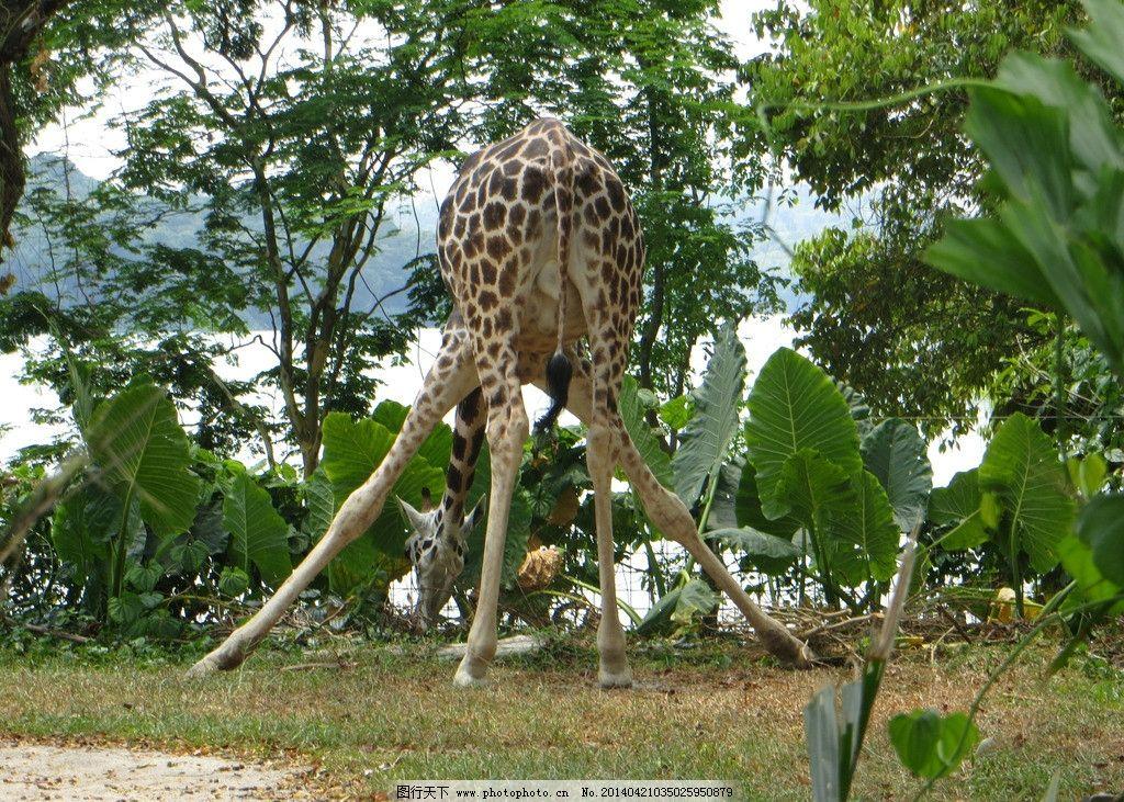 长颈鹿喝水 新加坡 动物园 树林 摄影