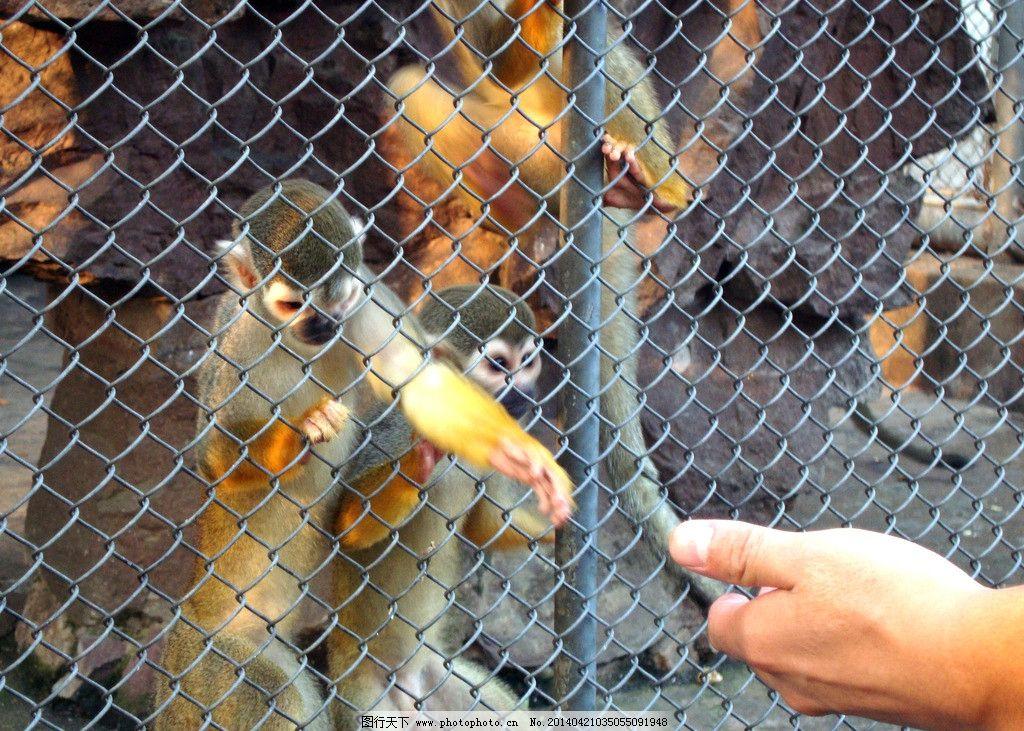小猴子向游客索要食物 猴子 动物 动物园 野生动物 笼子 牢笼 铁栅 关