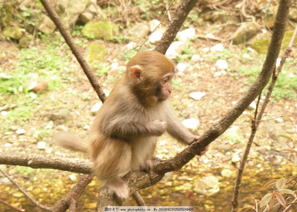 猕猴 张家界 金鞭溪 野生 猴子 野生动物 生物世界 摄影 300dpi jpg