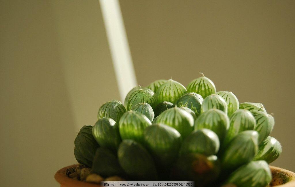 多肉植物 玉露图片