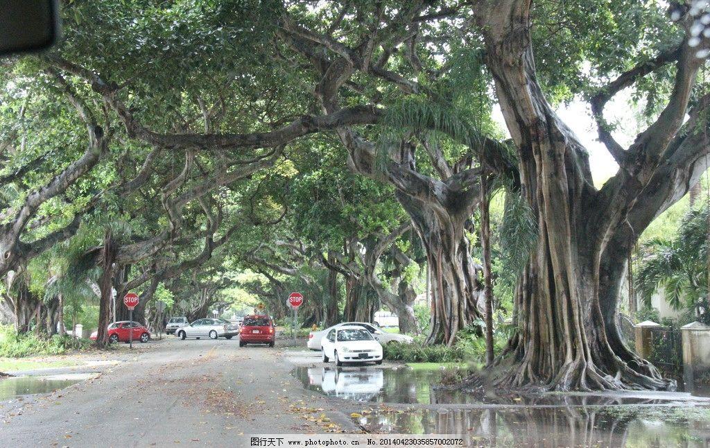 榕树 美国迈阿密 奇树 大树 树根 树木树叶 生物世界 摄影 72dpi jpg