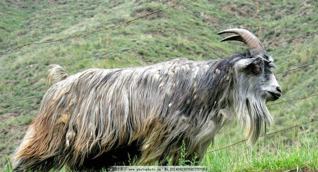 山羊 长毛 长角 长胡须 战立 山坡 家禽家畜 生物世界 摄影 180dpi